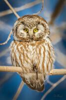 Boreal Owl 1